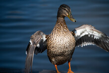 Young Duck On Golden Reflectio...