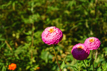 Zinnia Elegans, Native Plant Of North America, Where It Came From In The Year 1770, Known As Mystical Rose Or Paper Flower