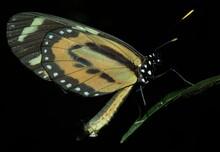 Long Wing Butterfly On Leaf