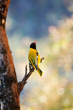 Black Headed Oriole Perched In...
