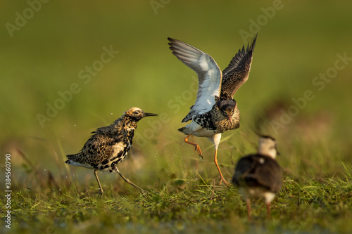 Cuadros en Lienzo Fighting ruffs in Biebrza National park in Poland