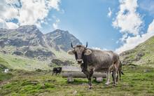 Weidende Kühe Im Kaunertal
