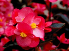 Pretty Pink Flowers Of Begonia...