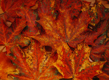 Macro Photo Of Red And Orange Maple  Fallen Leaves. Autumn Background.