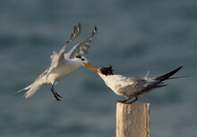 Greater Crested Tern Fight For...