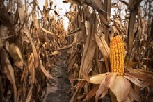Closeup Of Rows Of Ears Of Fresh Yellow Corn On The Cob On Brown Dried Stalks In Agricultural Farm Field At Harvest Time, Autumn, Fall, Ripe, Renewable Energy, Resources, Ethanol, Cattle Feed, Rows