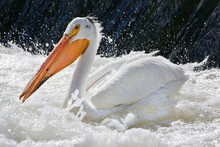 White Pelicans Gather In The W...