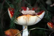 Champignon Amanite Amanita Muscaria