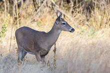 Colorado Wildlife. Wild Deer O...