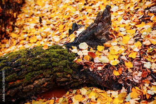 Fototapeta fallen leaves near beautiful tree in autumn forest at sunny weather