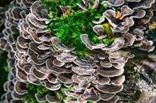 Coriolus Mushroom _01