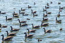 Flock Of Geese And Ducks In Lake During Migration In Fall