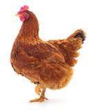 Fototapeta Zwierzęta - Brown hen isolated.