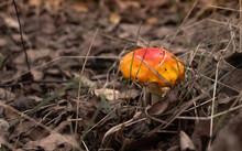 Amanita Jacksonia Mushroom On The Forest Floor.