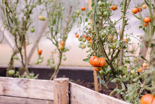 Growing Aromatic Tomatoes In A...