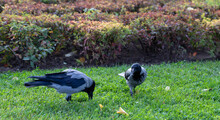 Two Gray Crows On The Green Gr...