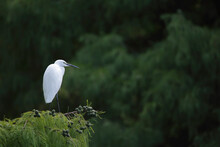 Little Egret On Tree Branches -  Garceta Común - Egretta Garzetta