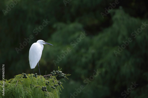 Murais de parede Little egret on tree branches -  garceta común - Egretta garzetta