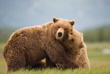 Grizzly Bears Playing, Katmai National Park, Alaska