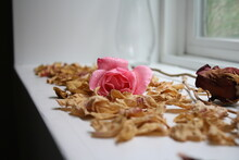 Pink Rose By Window With Dew D...