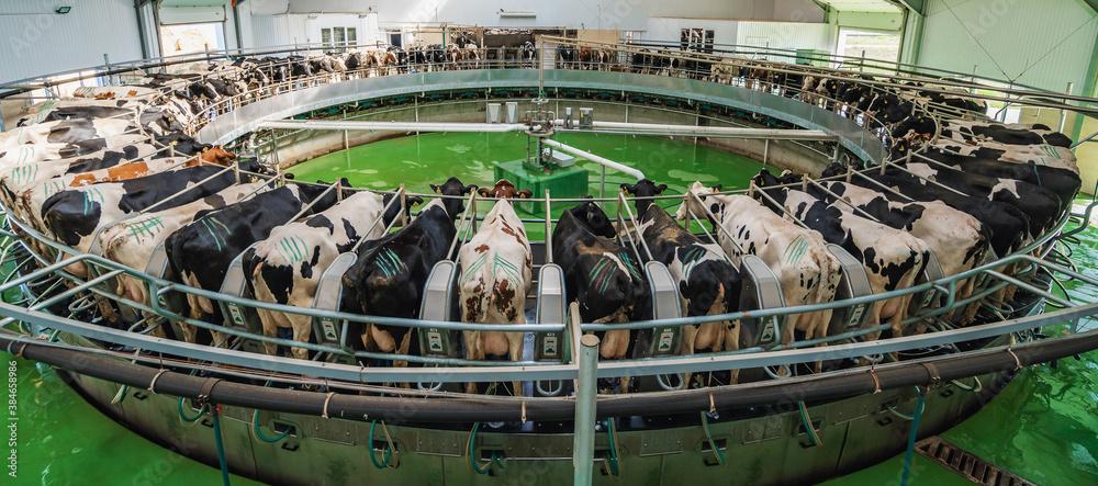 Fototapeta Panorama of Cows on milking machine in dairy farm.