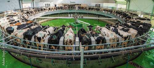 Obraz Panorama of Cows on milking machine in dairy farm. - fototapety do salonu