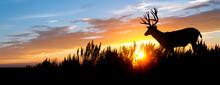 A Male (buck) Mule Deer Against An Evening Sunset.