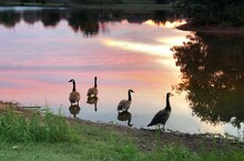 Four Geese Standing In The Wat...