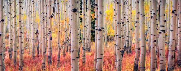 Fototapeta Brzoza Colorful autumn landscape in the Wasatch Mountains, Utah, USA.