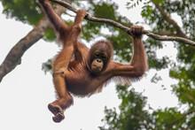 A Baby Bornean Orangutan Is Ha...