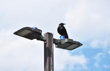 Crow On Streetlight