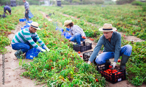 Fotografering Focused farmer with group of farm workers hand harvesting crop of ripe tomatoes