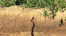 Pit Viper Mamushi Poisonous Snake Climbing Out Of A Ditch