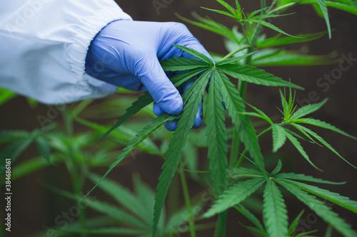 Fototapeta Cannabis research, Cultivation of marijuana (Cannabis sativa), flowering cannabis plant as a legal medicinal drug, herb, ready to harvest obraz