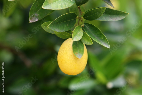 Fototapeta Orange and pomelo fruits hang on trees in a citrus garden in Israel against a ba
