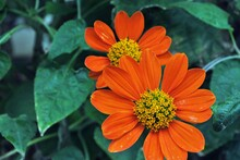 Two Orange Gerbera Daisy Flowers, Close Up In Full Bloom