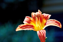 Lush Orange Lily Flower In The...