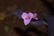 Pink Flower Of Purple Queen Spiderwort Plant (Tradescantia Pallida)