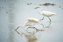 Great Egret (Ardea Alba), Big ...