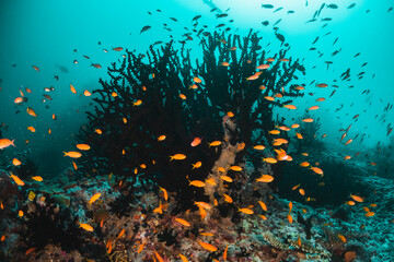 Fototapeta na wymiar Scuba divers swimming among colorful coral reef and tropical fish in clear blue water, Indian Ocean