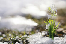 The First Spring Flowers. Snow...