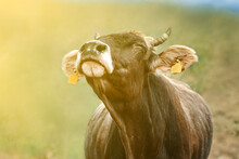 Cow With Ear Tags. Portrait Of...