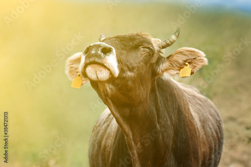 Cow with ear tags Wallpaper Mural