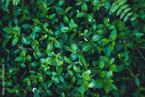 Fotografie, Obraz Beautiful periwinkle vinca in the garden on wet summer morning