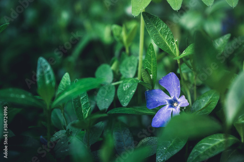 Photo Beautiful periwinkle vinca in the garden on wet summer morning