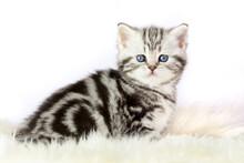 Portrait Of Black Silver Tabby Blotched Kitten