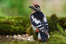 Great Spotted Woodpecker ,,den...