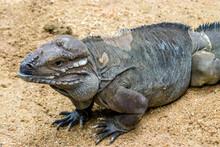 The Rhinoceros Iguana (Cyclura Cornuta) Is A Threatened Species Of Lizard In The Family Iguanidae That Is Primarily Found On The Caribbean Island Of Hispaniola. The Closeup Head Image.