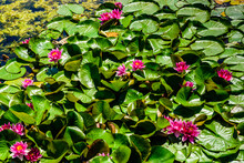 Pink Water Lilies On The Water Surface