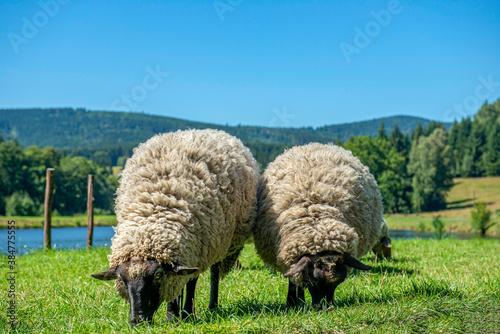 Fototapeta dwie ciekawskie owce na łące obraz
